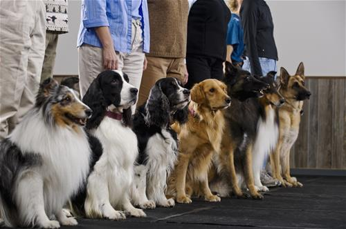 Line of Dogs in Training